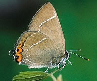 LOGO - White Letter Hairstreak Butterfly